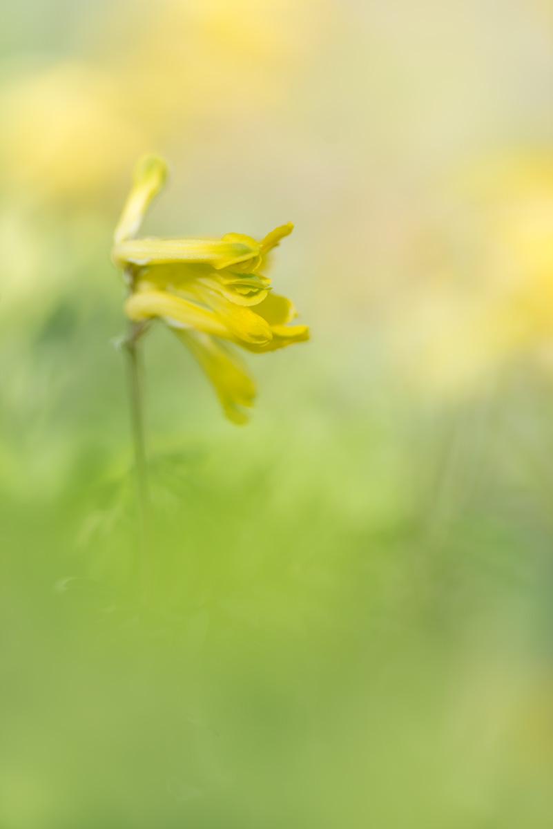 La Corydale jaune : Pseudofumaria lutea (Linnaeus) Borkhausen, 1797