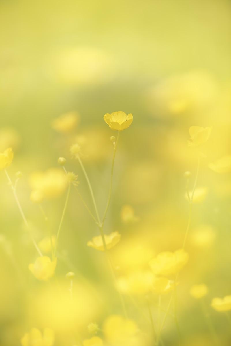 Renoncules : Ranunculus (Linnaeus, 1753)