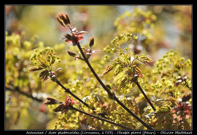 Acer platanoides (Linnaeus, 1753) : l'érable plane