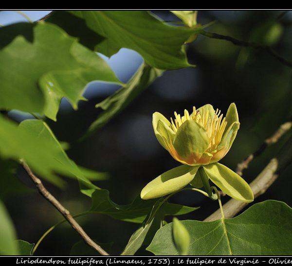 Liriodendron tulipifera (Linnaeus, 1753)