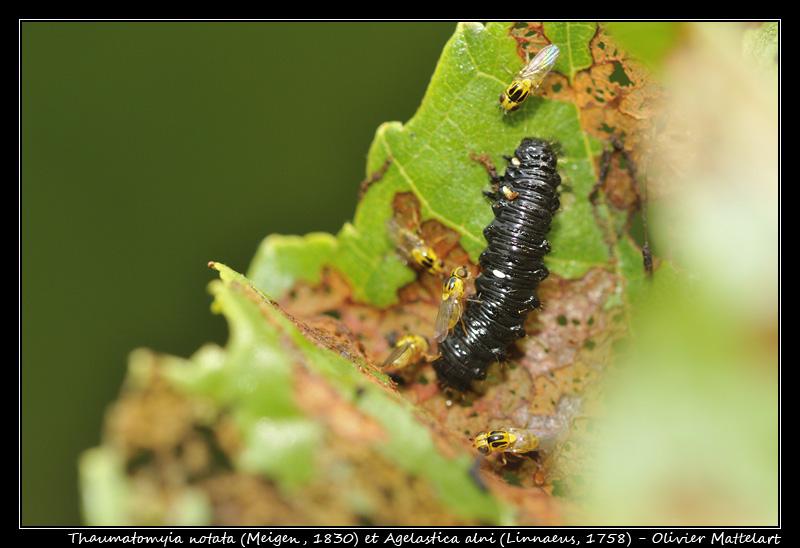 Thaumatomyia notata et Agelastica alni (larve)