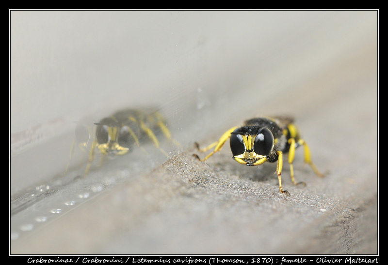 Ectemnius cavifrons (Thomson, 1870) : femelle