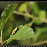 Nemophora degeerella (Linnaeus, 1758) : mâle