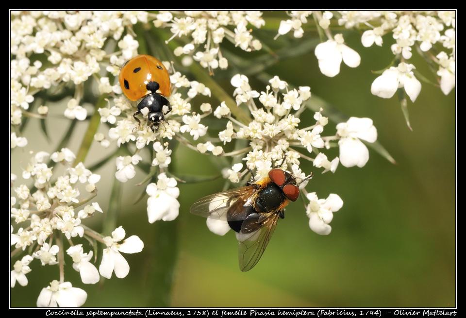Coccinella septempunctata et Phasia hemiptera femelle