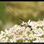 Gasteruption jaculator (Linnaeus, 1758) : femelle