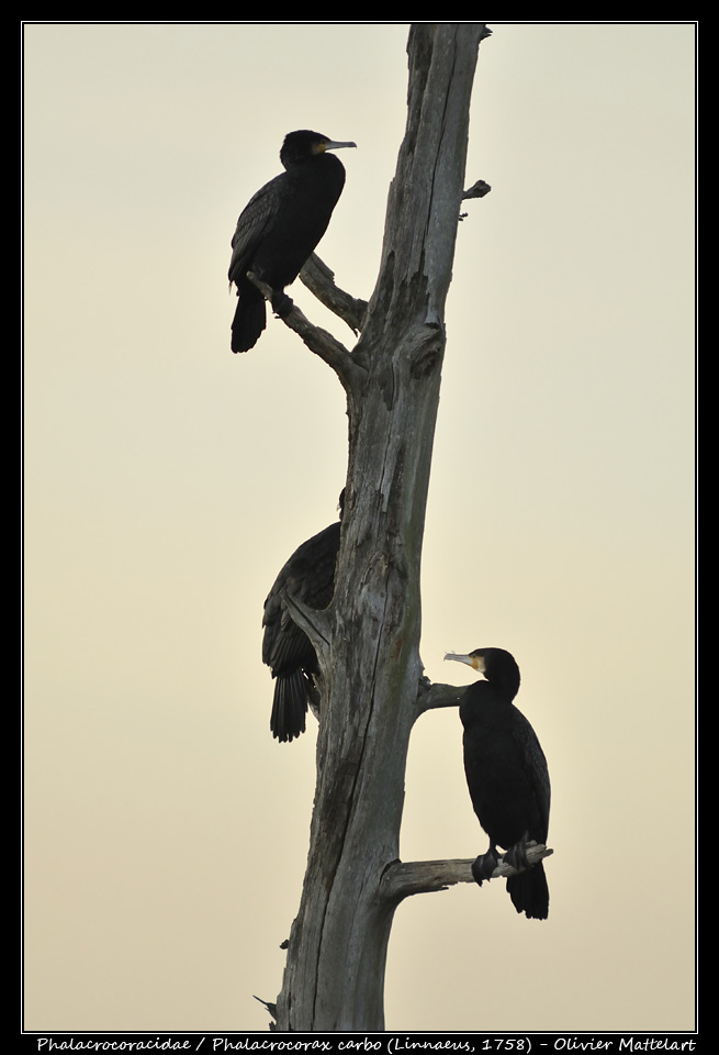 Phalacrocorax carbo (Linnaeus, 1758)