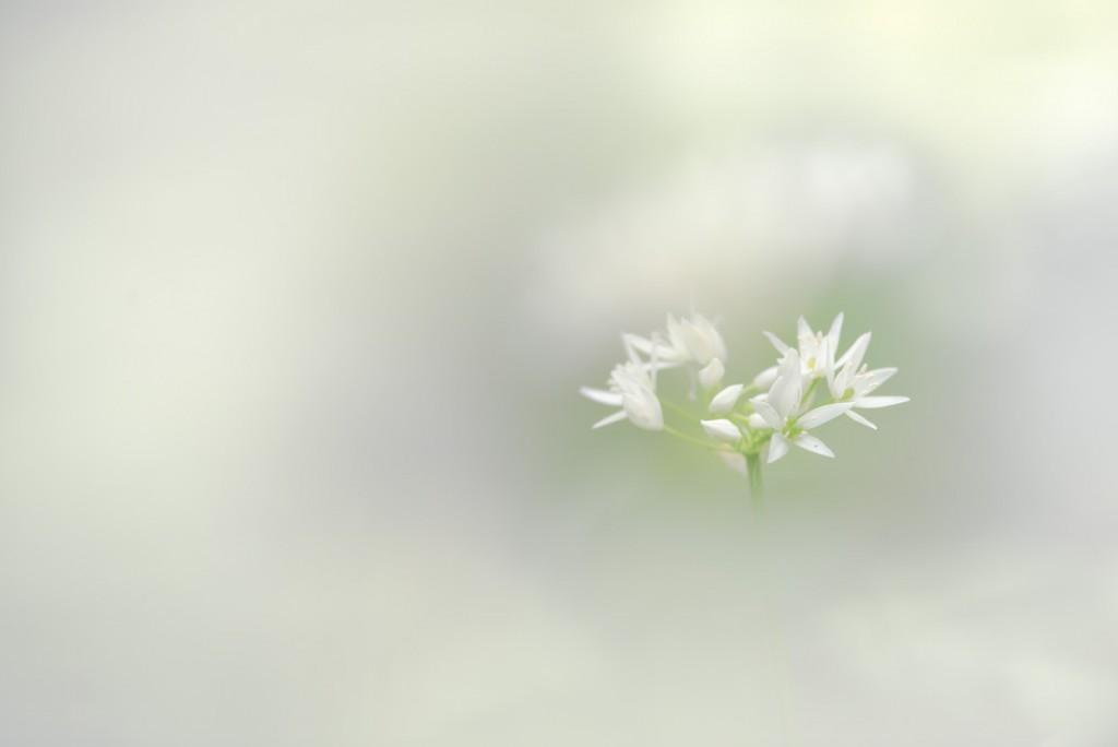 Fleur d'ail des ours