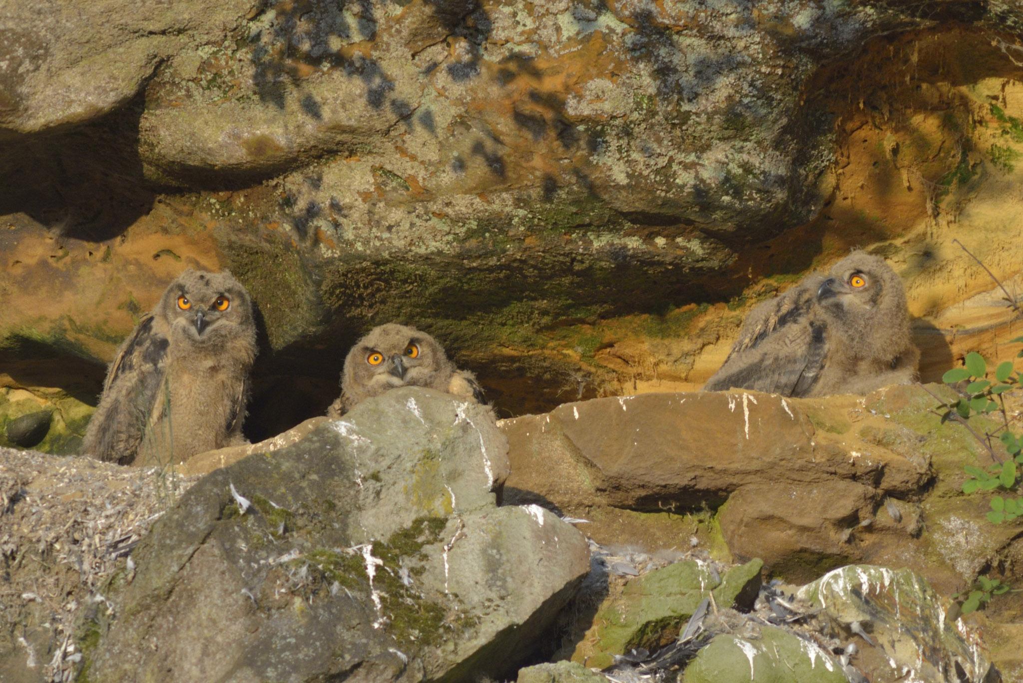 Bubo bubo (Linnaeus, 1758) : hiboux grands-ducs juvéniles
