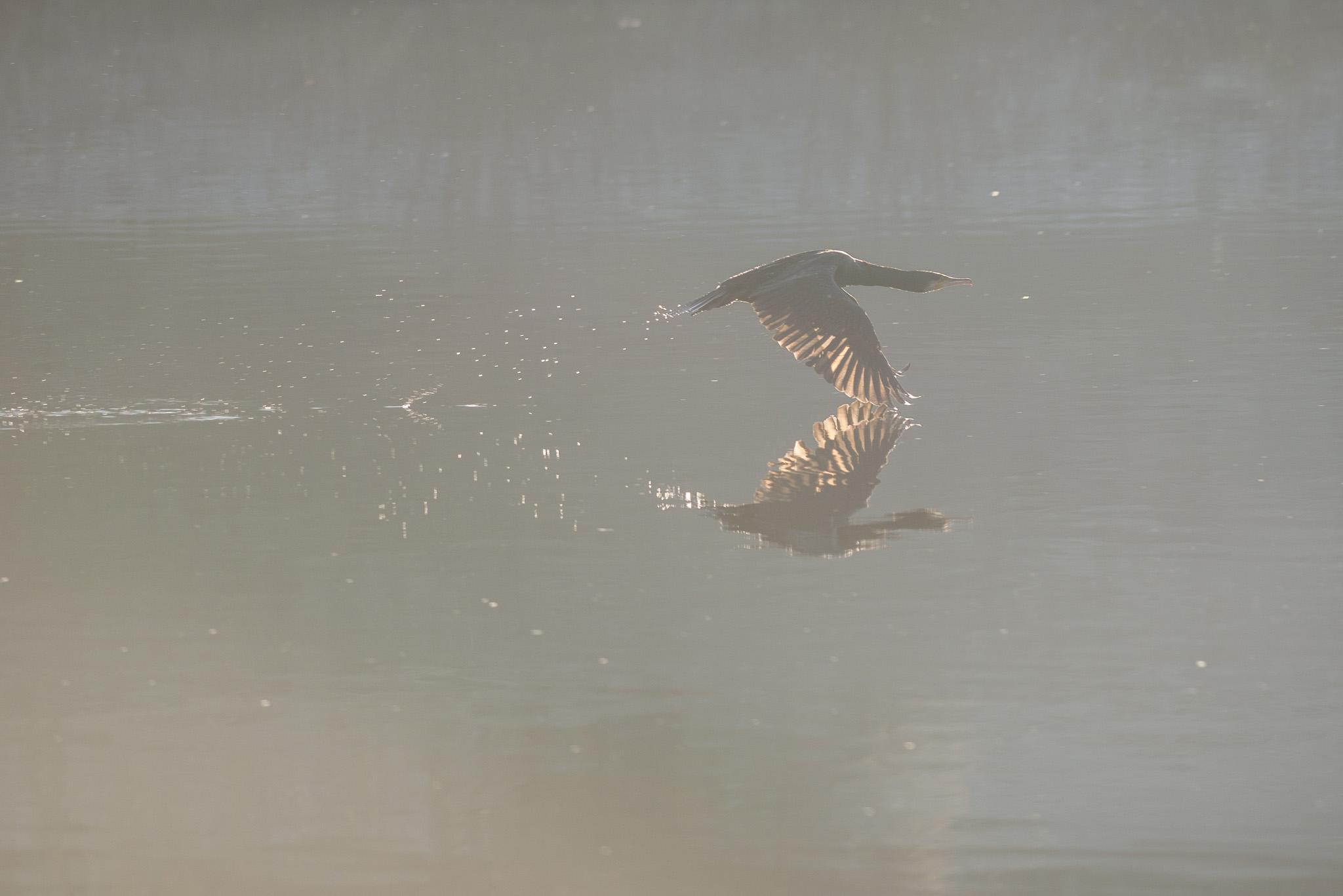 Cormoran au décollage
