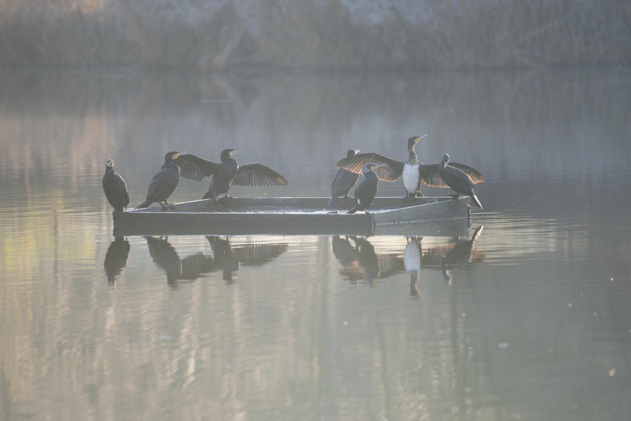 Cormorans séchant leur ailes