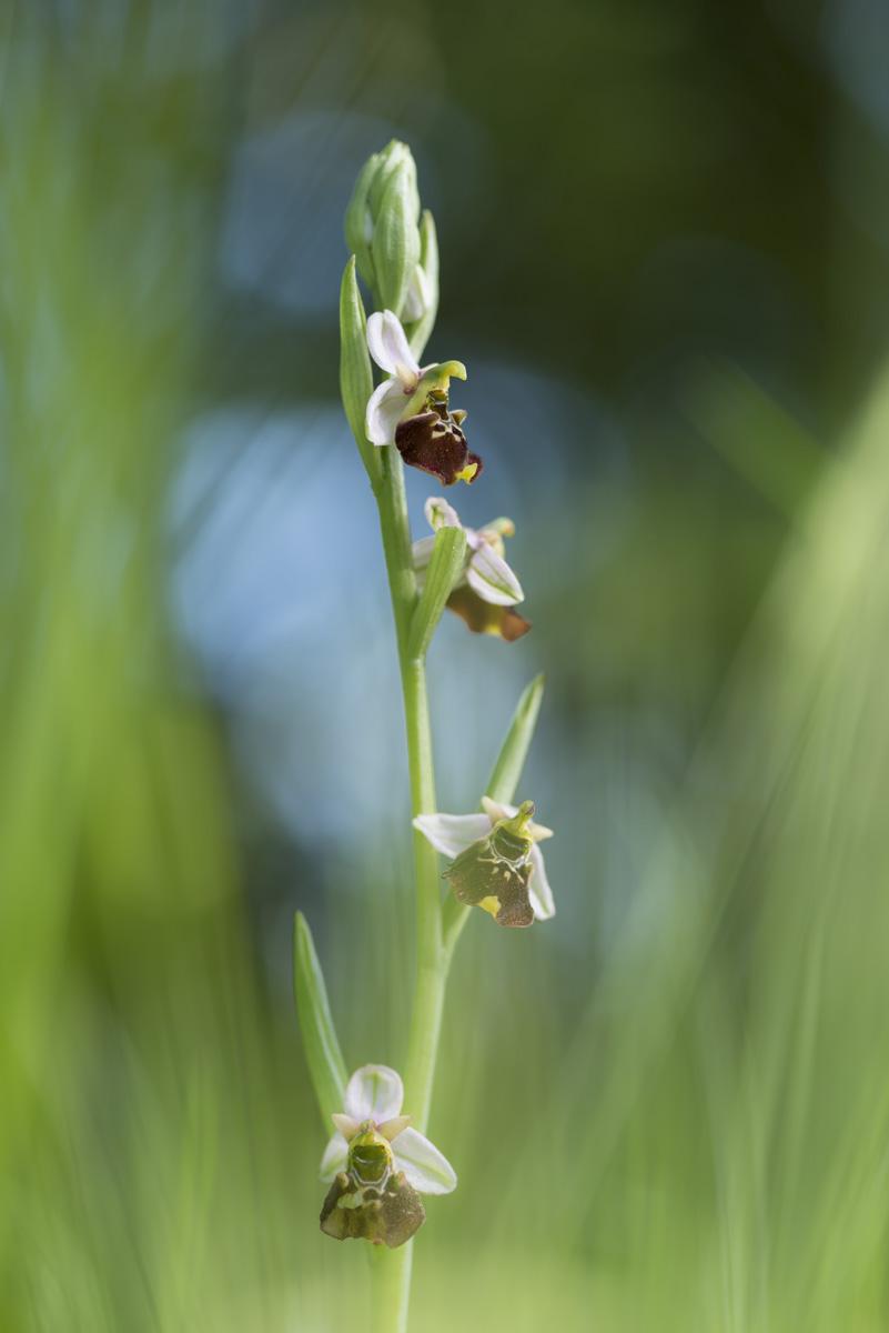 Ophrys bourdon : Ophrys fuciflora (F.W.Schmidt) Moench, 1802