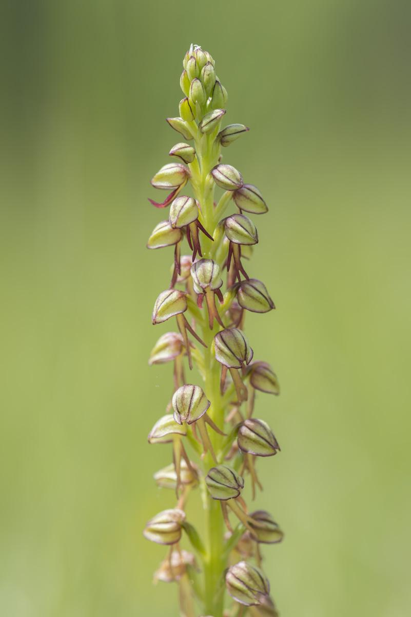 Orchis homme-pendu : Orchis anthropophora (Linnaeus) Allioni, 1785