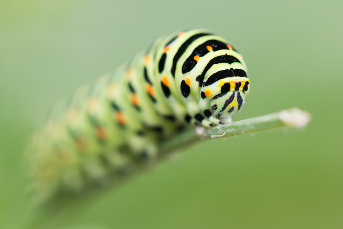 Papilio machaon (Linnaeus, 1758) : chenille