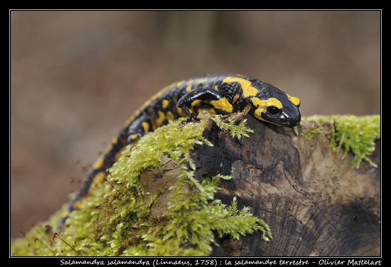 Salamandre terrestre