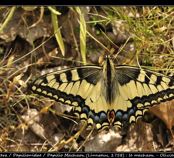 Papilio machaon (Linnaeus, 1758)