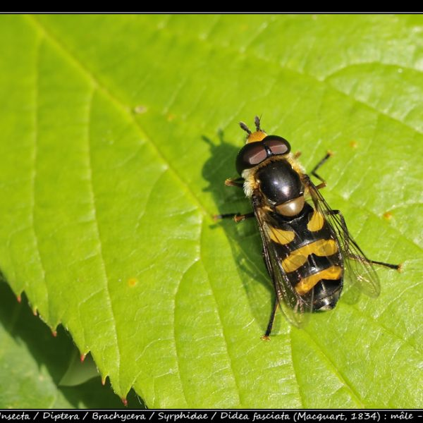 Didea fasciata (Macquart, 1834) : mâle