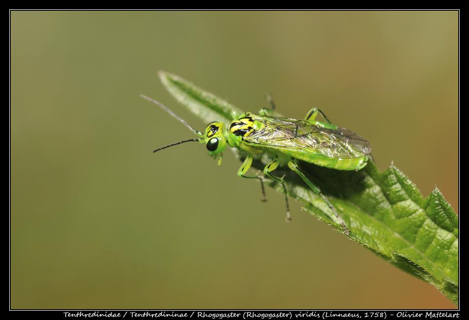 Rhogogaster (Rhogogaster) viridis (Linnaeus, 1758)